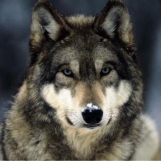 Wolves Кейсы